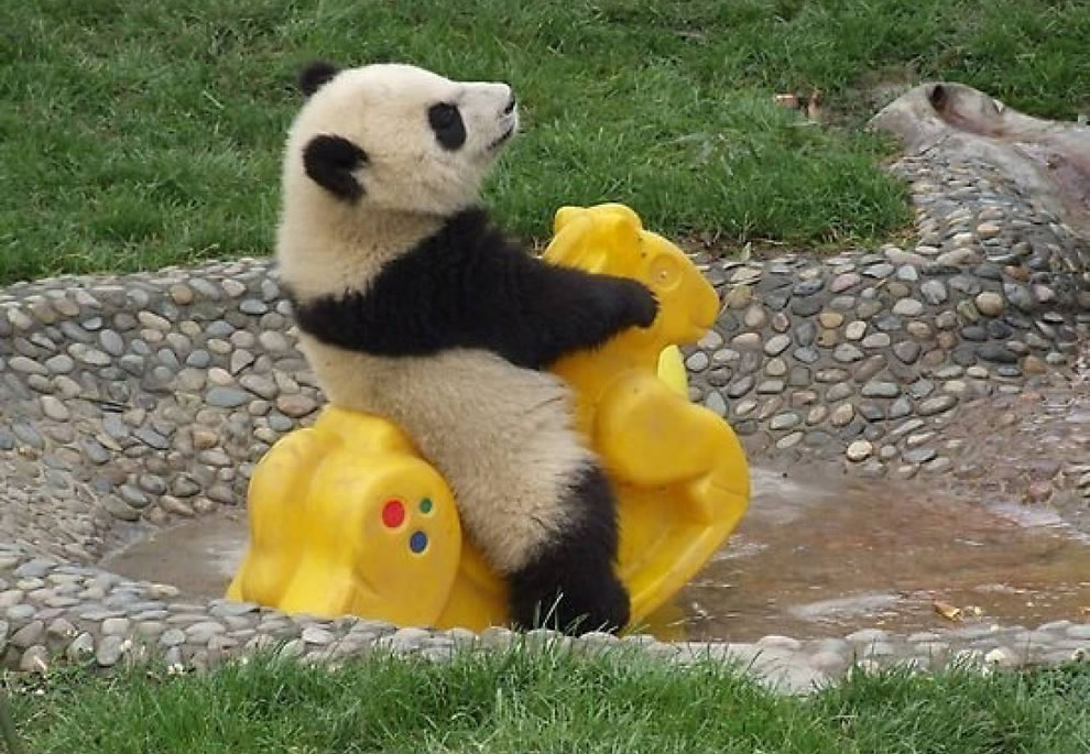 Baby-panda-rides-toys-in-the-water-at-sanctuary